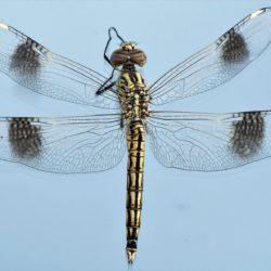 03 Brachythemis impartita (Libellulidae)