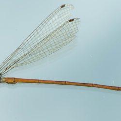 03 Ceriagrion bakeri (Coenagrionidae)