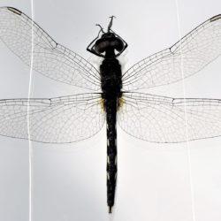 03 Diplacodes lefebvrii (Libellulidae)