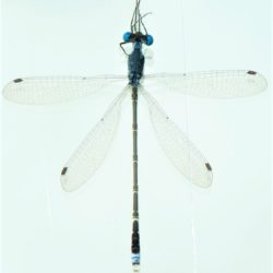 03 Lestes tridens (Lestidae)