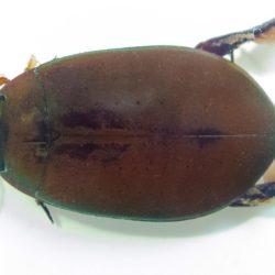 04 Cybister (Dytiscidae), Lake Ruwka, Tanzania