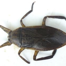 04 Lethocerus niloticus (Belostomatidae), Lake Rukwa, Tanzania