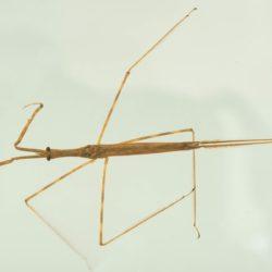 05 Ranatra (Nepidae), Lake Rukwa, Tanzania