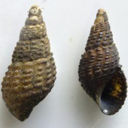 07 Tarebia granifera (Thiaridae), Komatipoort, RSA