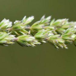 Agrostis contunuata (Poaceae), Vaalbankspruit, Mpumalanga, RSA