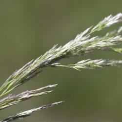 Agrostsi lachnantha (Vaalbanlspruit), Mpumalanga, RSA