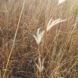 Andropogon eucomus (Poaceae), Nelspruit, Mpumalanga, RSA