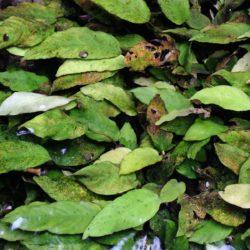 Anubias heterophylla (Araceae), Bas Congo, DRC