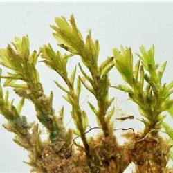 Barbula boleana (Pottiaceae), Steelpoort, RSA