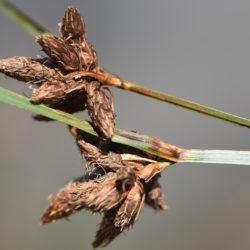 Bolboschoenus maritimus (Cyperaceae), Port Elizabeth, RSA