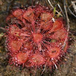 Drosera burkeana (Droseraceae), Nelspruit, Mpumalanga, RSA