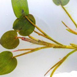 Eichhornia diversifolia (Pontederiaceae), Koulekoun, Guinea