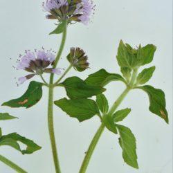 Mentha aquatica (Lamiaceae), White River, Mpumalanga, RSA