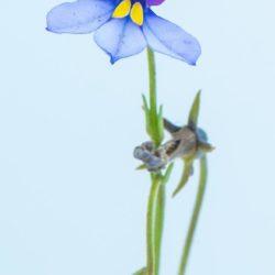 Monopsis decipiens (Lobeliaceae), Vaalbankspruit, Mpumalanga, RSA