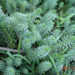 Myriophyllum aquaticum (Haloragaceae), Lomati River, Swaziland