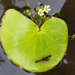 Nymphoides thunbergiana (Menyanthaceae), Blinkwaterspruit, Mpumalanga, RSA