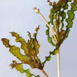 Potamogeton crispus (Potamogetonaceae), Suidkaap R, Mpumalanga, RSA (Copy)