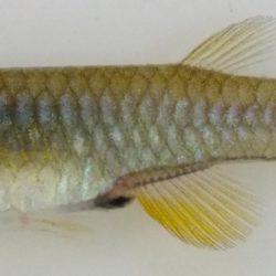 Aplochelichthys fuelleborni (Aplocheilidae), Lake Rukwa, Tanzania