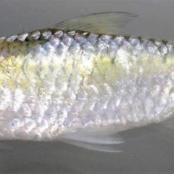 Brycinus imberi (Alestidae), Koulekoun, Guinea