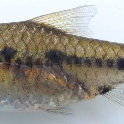 Enteromius annectens (Cyprinidae), Govuro R, Mozambique