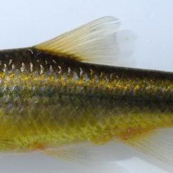 Enteromius anoplus (Cyperinidae), Sundays River, Eastern Cape, RSA