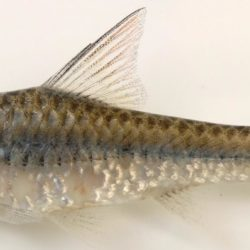 Enteromius radiatus (Cyprinidae), Cabo Delgado, Mozambique