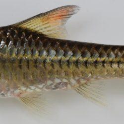 Enteromius radiatus (Cyprinidae), Lomati R, Swaziland