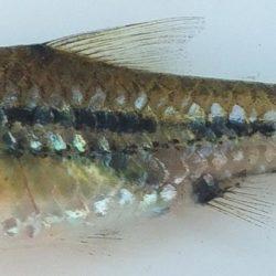 Enteromius viviparus (Cyprinidae), Govuro R, Mozambique