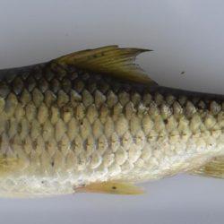 Labeobarbus marequensis (Cyprinidae), Mkhondvo R, Swaziland