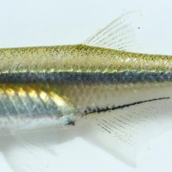 Mesobola brevianalis (Cyprinidae), Noordkaap R., Mpumalanga, RSA