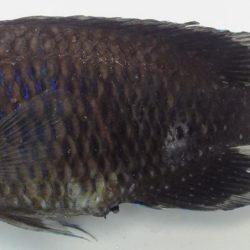 Neopomacentrus fuliginosus (), Govuro Estuary, Mozambique
