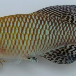 Nothobranchius pienaari (Nothobranchiidae), Inhasorro, Mozambique