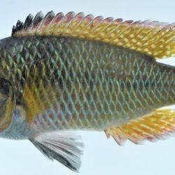 Pseudocrenilabrus philander (Cichlidae), White River, Mpumalanga, RSA