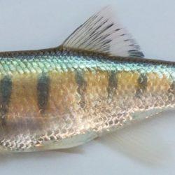 Raiamas moorii (Cyprinidae), Chambua R, Tanzainia