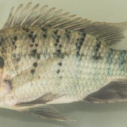 Sarotherodon galilaeus galilaeus (Cichlidae), Koulekoun, Guinea