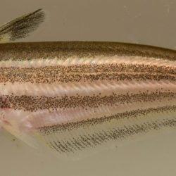 Schilbe intermedius (Schilbidae), Koulekoun, Gionea