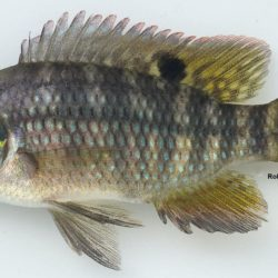 Tilapia sparrmanni (Cichlidae), Ngwavuma R, Swaziland