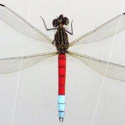 03 Chlorocypha curta (Chlorocyphidae)