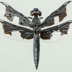 03 Palpopleura portia (Libelullidae)