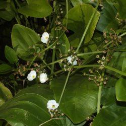 Alisma plantago-aquatica Komatipoort, RSA