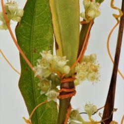 Cuscuta campestris (Convolulaceae), White River, Mpumalanga, RSA