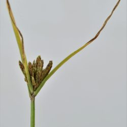 Cyperus compressus (Cyperaceae), Nelspruit, Mpumalanga, RSA