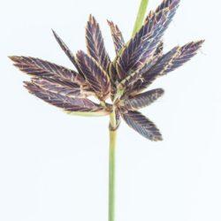 Cyperus semitrifidus (Cyperaceae), Vaalbankspruit, Mpumalanga, RSA