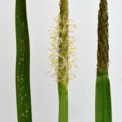 Eleocharis acutangula (Cyperaceae), White River, Mpumalanga, RSA