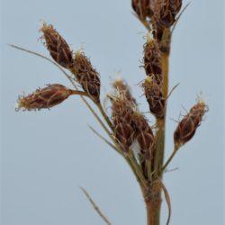 Fimbristylis dichotoma (Cyperaceae), Nelspruit, Mpumalanga, RSA