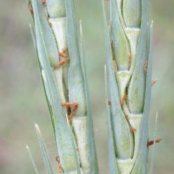 Ischaemum rugosum (Poaceae), Koulekoun, Guinea