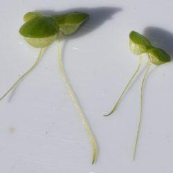 Lemna gibba (Lemnaceae), Port ELizabeth, RSA