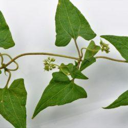 Mikania capensis (Asteraceae), White River, Mpumalanga, RSA