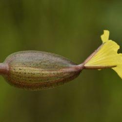 Ottelia ulvifolia (Hydrocharitaceae), Koulekoun, Guinea
