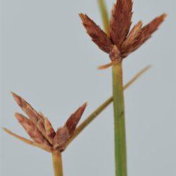 Pycreus flavescens (Cyperaceae), Nelspruit, Mpumalanga, RSA